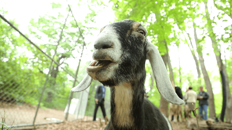 One of the Prospect Park goats, as musical hero
