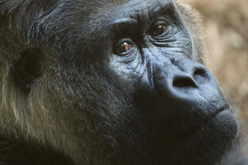 Charles, who has resided at the Toronto Zoo since it opened, continues to lead the lowland Gorilla group, but is facing a challenge from an 11 year old male.