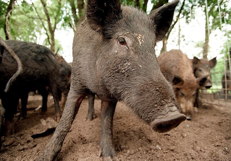Feral hogs like these at Roger McMillin's ranch near Stephenville, Texas, cause millions of dollars of damage each year in Texas.