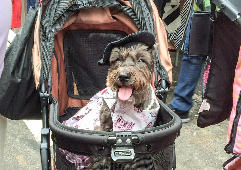 The only Bastille Day photo you'll ever need -- a dog in a stroller, wearing a beret.