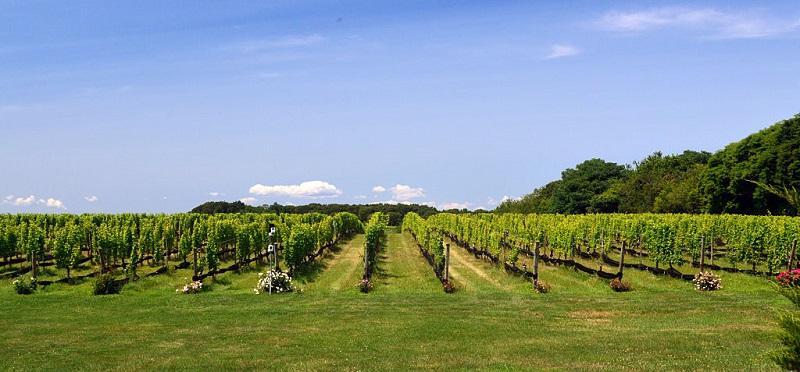 Long Island Vineyard, scenic landscape.