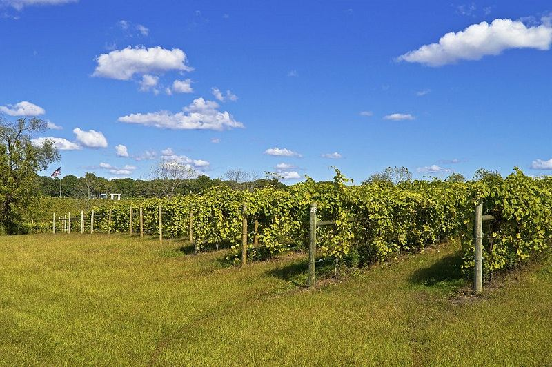 A vineyard full of grape vines at this winery in Central New Jersey.