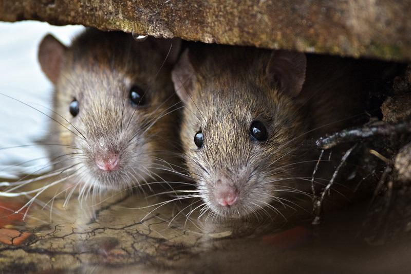 Are we close to winning the war against rats in New York City?