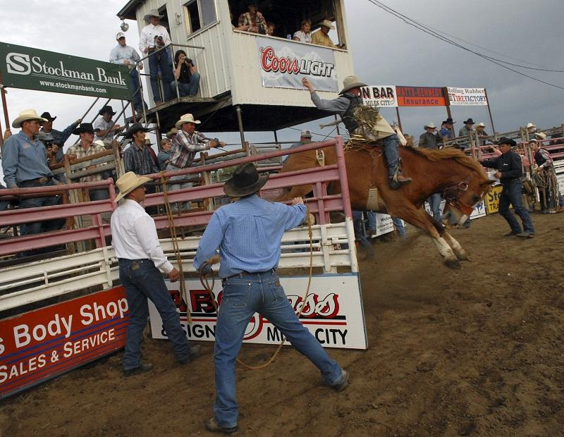 A rider leaves the chute at the Bucking Horse Sale in Miles City, Montana.