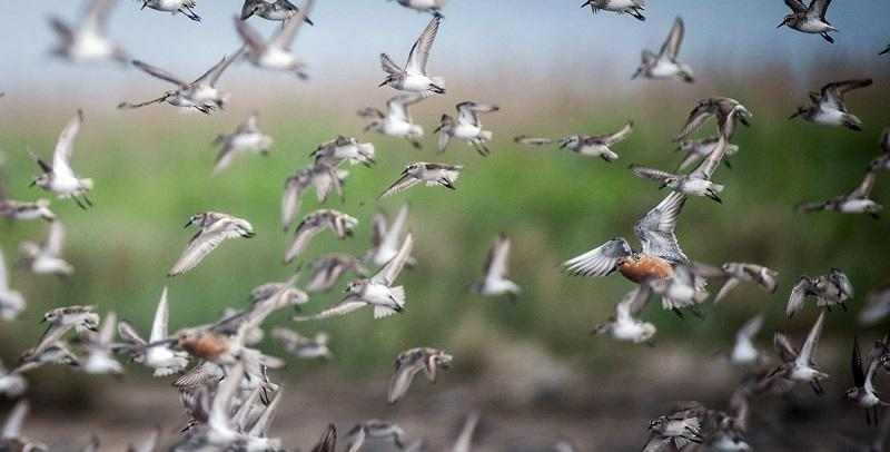 U.S. Fish and Wildlife Service decides later this year whether to list the red knot as a threatened or endangered species. Red knots, elite athletes of the bird world, stop briefly in Delaware Bay.
