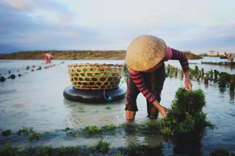 A woman in a straw hat pulls up a rope of seaweed in a tidal seaweed farm on Nusa Lemongan Island where the economy is driven by seaweed production and tourism.