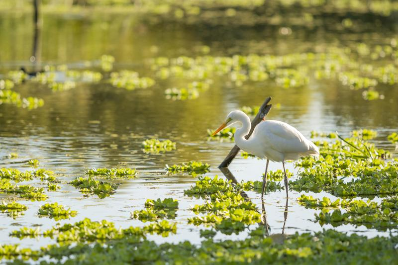 White heron in a lagoon in Florida.