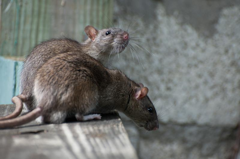 By conducting long-term monitoring studies of rats in New York, Dr. Munshi-South is uncovering new findings in the field of urban landscape genetics
