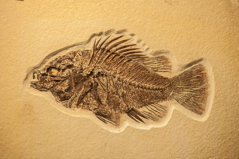 Complete fish fossil embedded in limestone