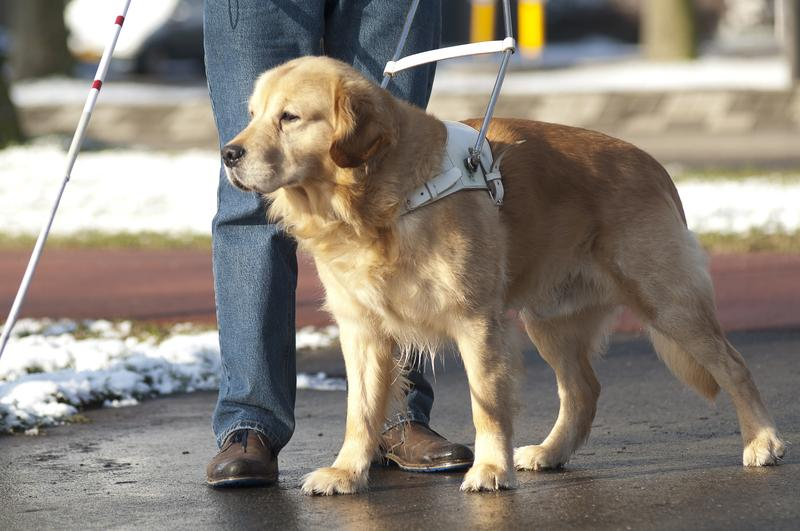 A guide dog assists.