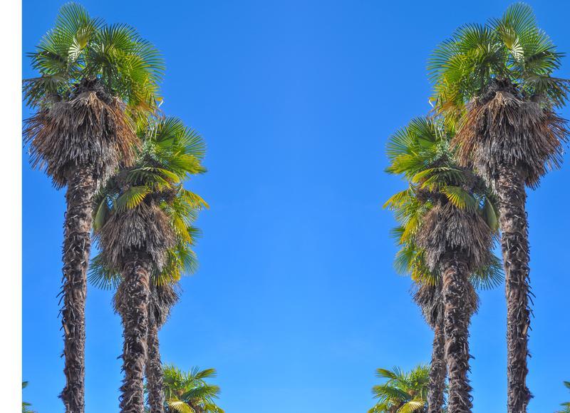 Palm trees on Sunset Boulevard
