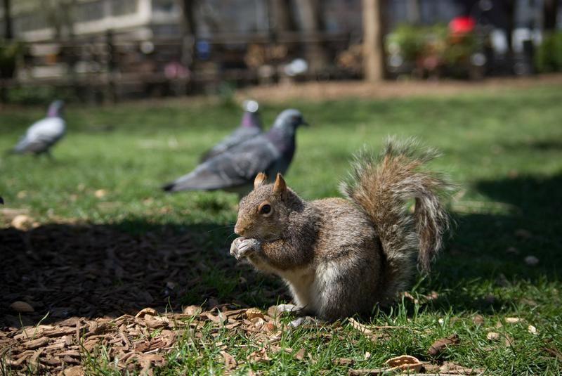 Gray squirrel in Union Square