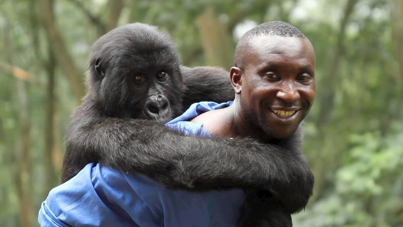 Park Ranger Andre with Ndakasi, one of the resident Mountain Gorillas of Virunga National Park.