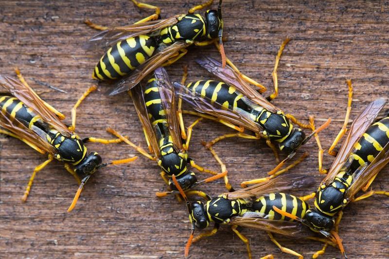 Several wasps gather near their nest.