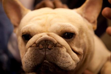 French Bulldog at